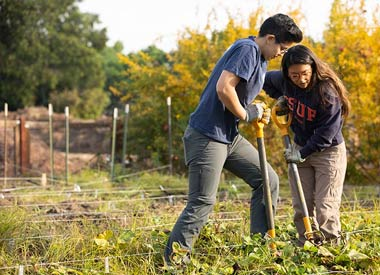 Students harvest sweet potatoes