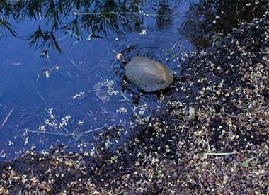 Turtle eating fruit in pond