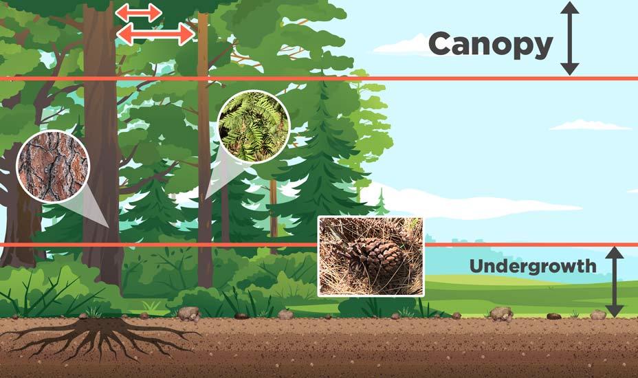 Conifer Traits
