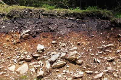 coniferous soil profile