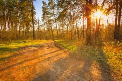coniferous sunlight in summer